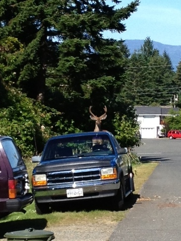 Hungry Deer Comox, British Columbia Canada