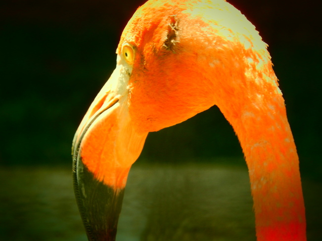 Beautiful Flamingo Winnipeg, Manitoba Canada