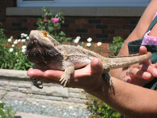 bearded dragon Simcoe, Ontario Canada