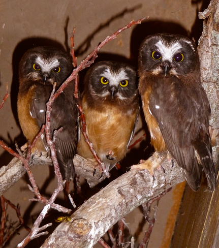 Rescued Northern Saw-whet Owls Oliver, British Columbia Canada