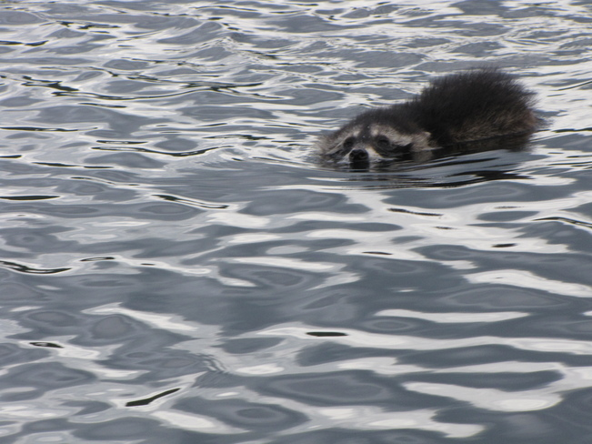 Raccoon Swimmer Birch Island, Ontario Canada