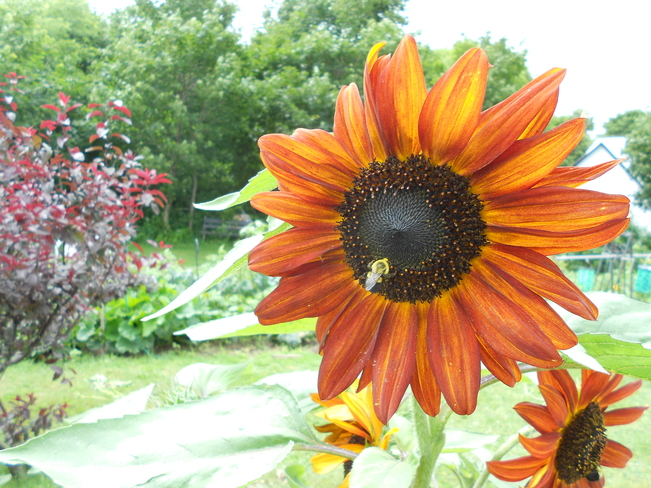 Sunflower Rexton, New Brunswick Canada