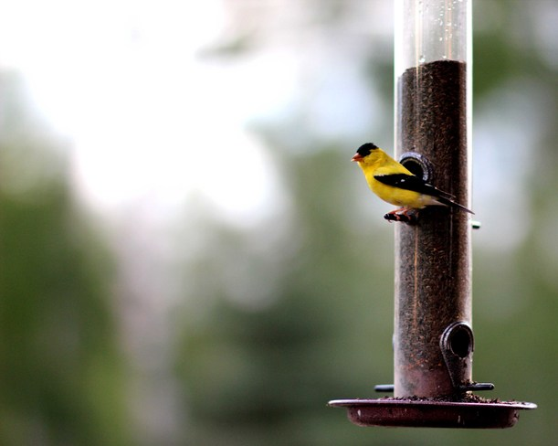 Goldfinch at the Feeder Shellmouth, Manitoba Canada