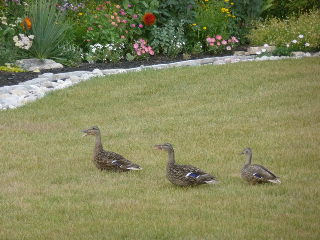 Ducks in garden London, Ontario Canada