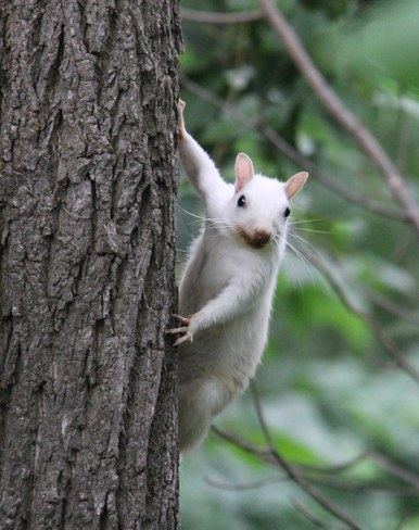 White Squirrel Exeter, Ontario Canada