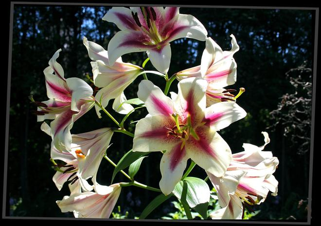 pink white Day lily Port Hope, Ontario Canada