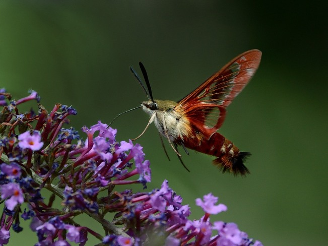 Hummingbird Clearwing moth on Butterfly Bush London, Ontario Canada