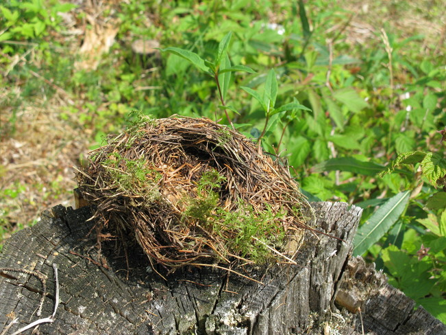 Bird's nest on the stump Deer Lake, Newfoundland and Labrador Canada