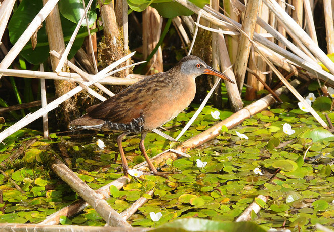 Virginia Rail Bowmanville, Ontario Canada