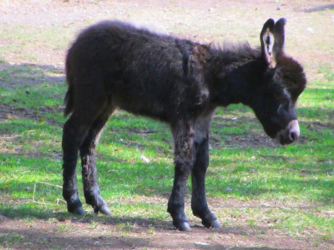 Adorable Baby Donkey Victoria, British Columbia Canada