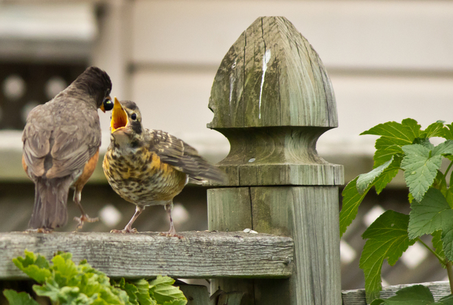 Mama Robin feeds her young Mississagi, Ontario Canada