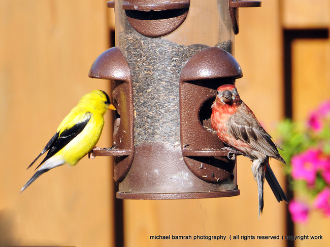 colourful Finches Whitby, Ontario Canada