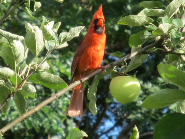 Cardinal in the Orchard Stratford, Ontario Canada