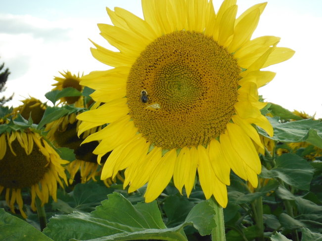Sunflower Flamborough, Ontario Canada