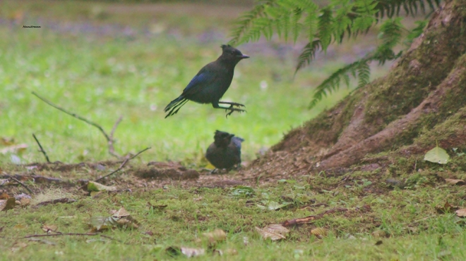 Steller Jays Play Hop Scotch Telegraph Cove, British Columbia Canada