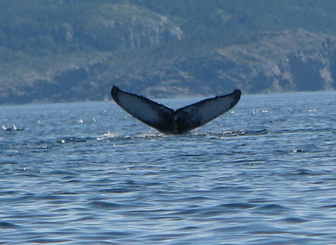 Whale Glovertown, Newfoundland and Labrador Canada