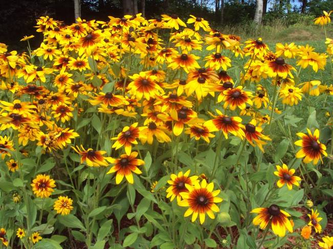 Sunflowers Cape Breton, Nova Scotia Canada