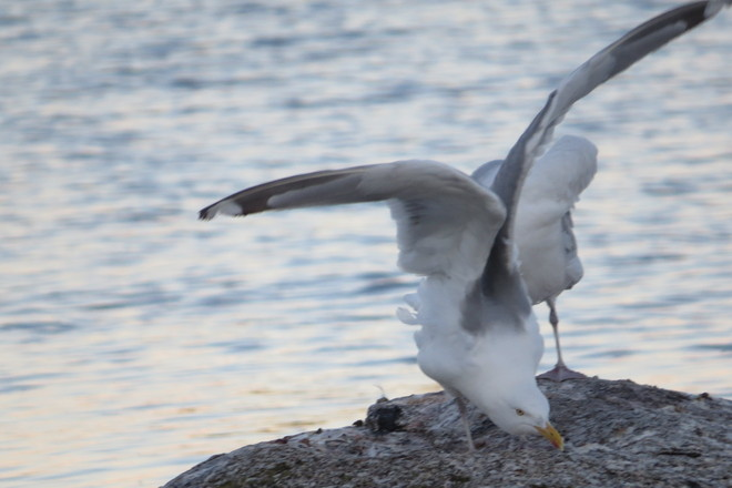 Herring Gull 'Deep Bow' Chester, Nova Scotia Canada