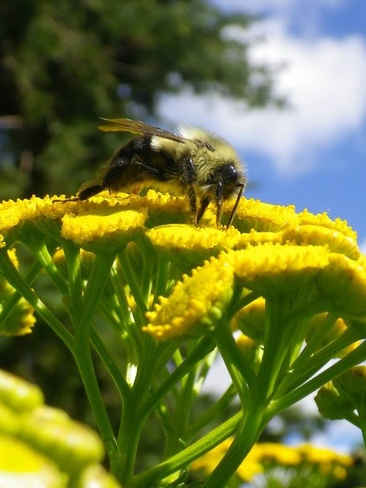 There be Bees amongst us London, Ontario Canada