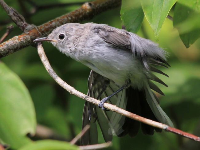 Blue-grey Gnatcatcher Fergus, Ontario Canada