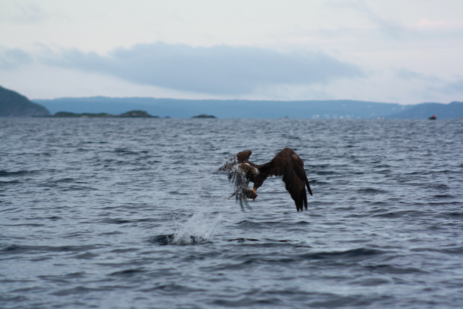 Bald Eagle taking a fish out of the water for his nest. Dover, Newfoundland and Labrador Canada