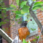 An American Robin eating berries