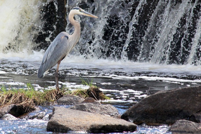 Gray heron looking for dinner Rennie, Manitoba Canada