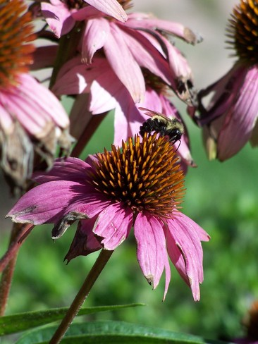 Beautiful Bumble Bee on Flower