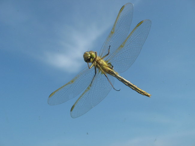 Dragon Fly in Qu'Appelle Valley Bird's Point, Saskatchewan Canada