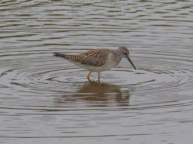 Yellowlegs Yarmouth, Nova Scotia Canada