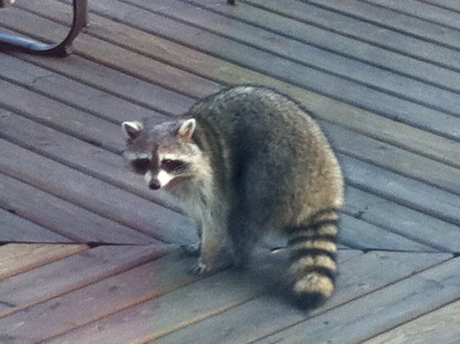 raccoon on my deck Port Perry, Ontario Canada