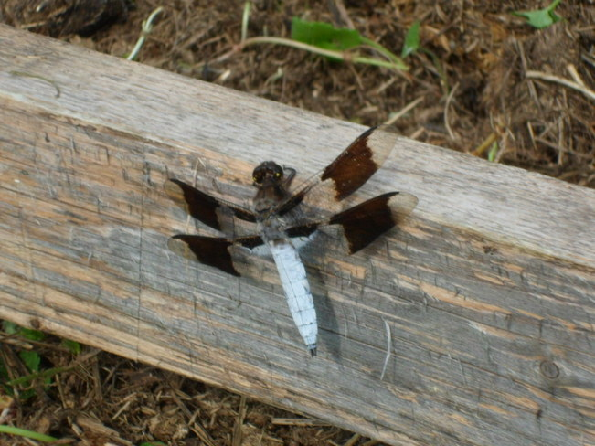 White tail dragonfly Warren, Ontario Canada