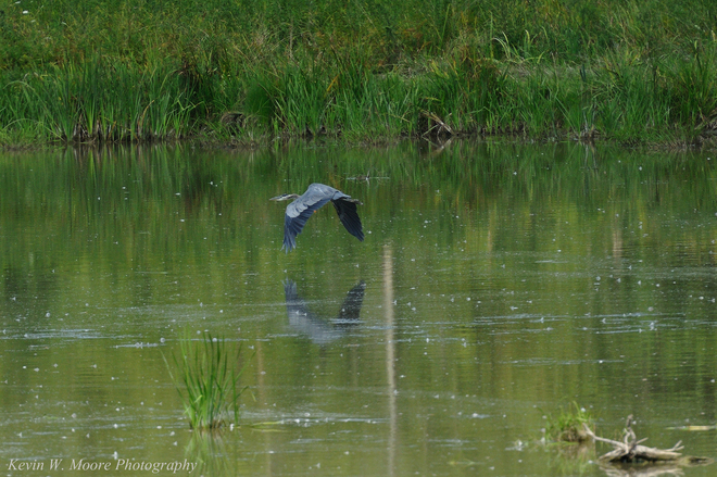 Blue Heron on the Wing Kerwood, Ontario Canada