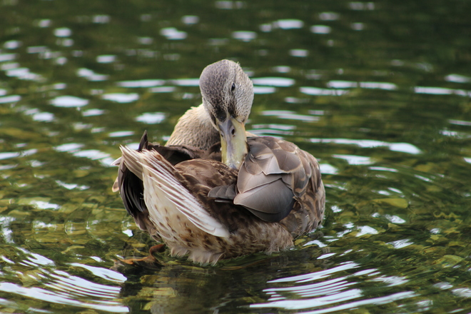 Ducking Around Winnipeg, Manitoba Canada