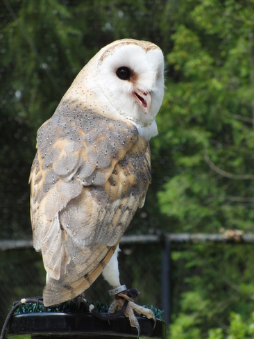 Jazz the Barn Owl Campbellville, Ontario Canada