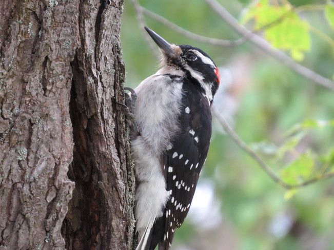 Male Downy Woodpecker on our Maple Deer Lake, Newfoundland and Labrador Canada