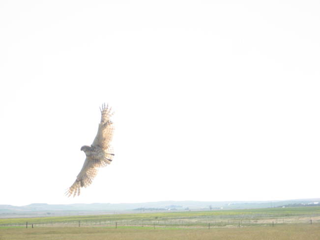burrowing owl in flight Glentworth, Saskatchewan Canada