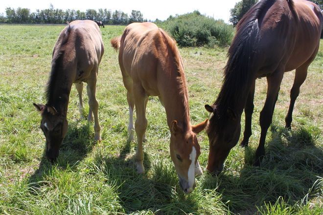 Two Foals and a Filly Canning, Nova Scotia Canada