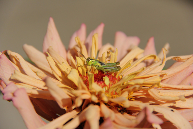 Grasshopper and zinnia Welland, Ontario Canada