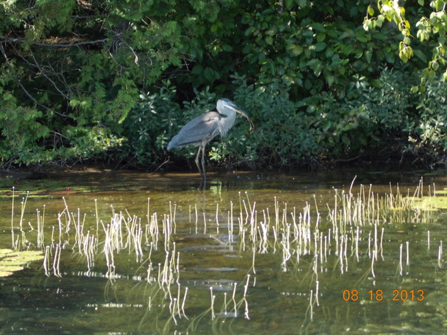 Great Blue Heron Saint-Donat, Quebec Canada