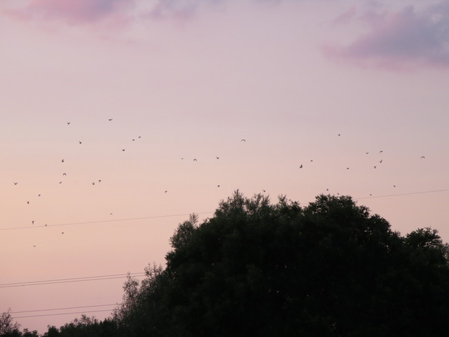 Birds in the night sky Kitchener, Ontario Canada