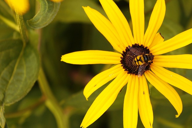 Bee on a Black Eyed Susan Mississauga, Ontario Canada