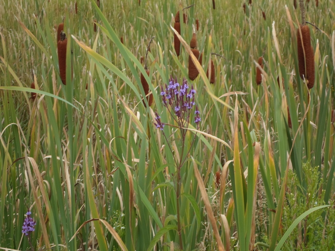 Cattails along the path Elliot Lake, Ontario Canada