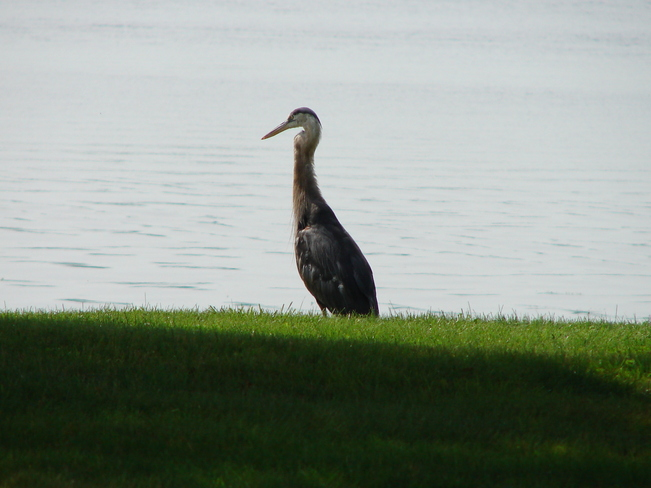 The Heron after eating the eel Belleville, Ontario Canada