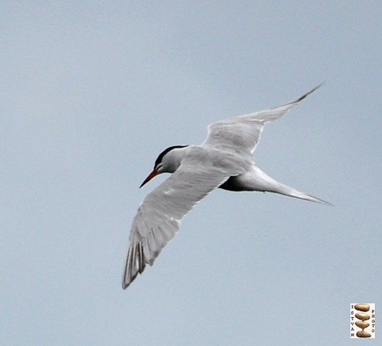 Tern on the sky Toronto, Ontario Canada