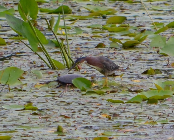 Green Heron checking out a turtle