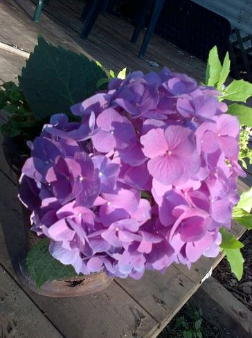 Purple Hydrangea London, Ontario Canada