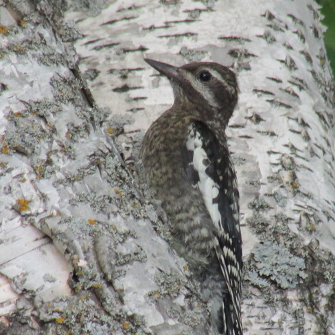 Wood Pecker Christopher Lake, Saskatchewan Canada