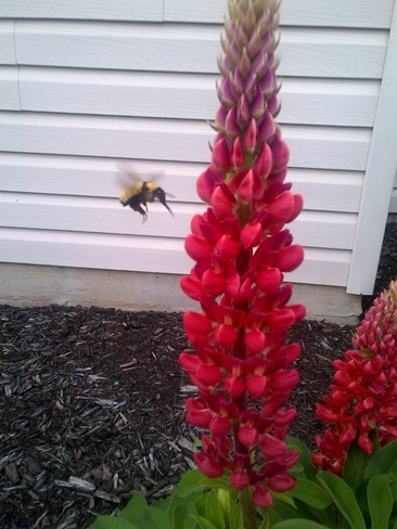 bee at a lupin Ingersoll, Ontario Canada