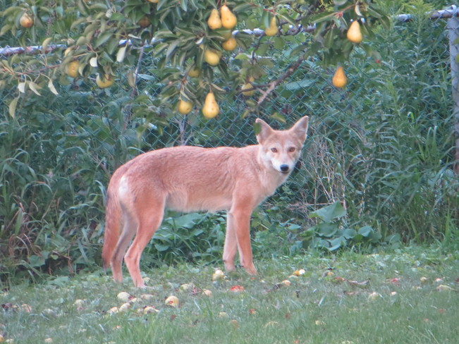 Pear eating Coyote London, Ontario Canada